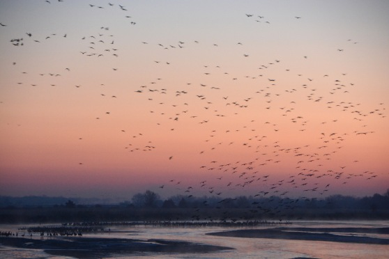 Sandhill Cranes at Sunrise on the Platte